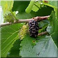 SO5721 : Mulberry fruit by Jonathan Billinger