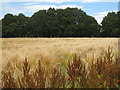 NT4765 : Cereal field at Gilchriston by M J Richardson