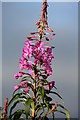 NH5151 : Rosebay Willowherb by Walter Baxter