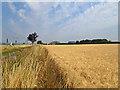 TL4653 : Barley by the railway by John Sutton