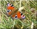 NY9187 : Peacock butterfly (Inachis io) : Week 30