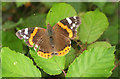 SX9066 : Red Admiral near Broomhill Way by Derek Harper