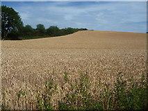 SJ9928 : Wheatfield with a hedged boundary by Christine Johnstone