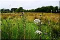 H5158 : Weeds, Eskragh by Kenneth  Allen