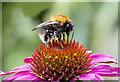 SS9769 : Bumblebee: Bombus hypnorum. by Mick Lobb