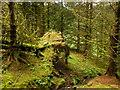 NX6996 : Mossy forest plantation, Back Burn : Week 31