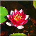 ST8663 : Water lily, ornamental pond, Great Chalfield Manor, Wiltshire by Brian Robert Marshall