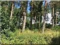 NY5625 : Lang Plantations by Richard Webb