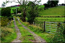 H5371 : Lane and sheep, Bancran by Kenneth  Allen