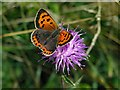 NZ1636 : Small Copper (Lycaena phlaeas), Deerness Valley Railway Path : Week 32