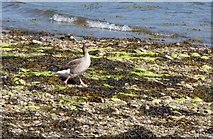 NS0372 : Goose near Rhubodach by Thomas Nugent