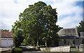 TF0436 : Acer pseudoplatanus by Bob Harvey