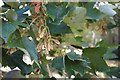 TF0436 : Sycamore seeds and leaves by Bob Harvey