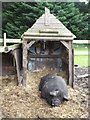 TR2363 : Pig at Grove Ferry Inn by pam fray