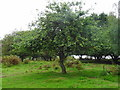 SJ9719 : Brocton Camp 'J-Lines' Centenary Apple Tree by John M