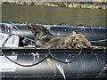 SM7309 : Seal in the Skomer boat by Hugh Venables