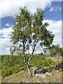 SK2773 : Solitary birch tree on Gardom's Edge by Graham Hogg