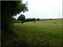 SX7087 : Cattle grazing east of Chagford by David Smith