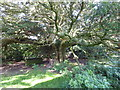 NY4318 : The ancient yew tree in St Martin's Churchyard, Martindale by Marathon