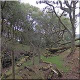SN7277 : Fallen trees above Rhiwfron halt by Rudi Winter