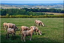 SX7796 : Mid Devon : Grassy Field & Sheep by Lewis Clarke
