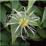 SN7277 : Clematis vitalba seeds at Rhiwfron halt by Rudi Winter