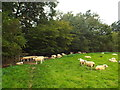 TQ5043 : Sheep grazing near Penshurst by Malc McDonald