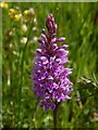 NS2576 : Common Spotted-orchid by Lairich Rig