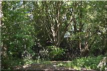 TQ5942 : Brokes Wood by N Chadwick