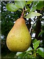 SO6020 : Pear - unknown variety by Jonathan Billinger
