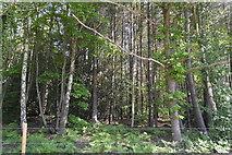 TQ6142 : Conifers, Pembury Walks by N Chadwick