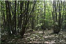TQ6142 : Coppicing, Pembury Walks by N Chadwick