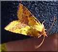 NJ3265 : Sallow Moth (Xanthia icteritia) by Anne Burgess