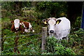 H4765 : Calves, Tattyreagh Glebe by Kenneth  Allen