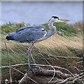 NT9852 : A grey heron (Ardea cinerea) at the River Tweed by Walter Baxter
