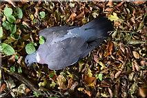 H5064 : Dead wood pigeon, Moylagh by Kenneth  Allen