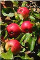 NJ3459 : Apples : Week 39