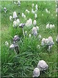 NT1471 : Shaggy Ink Caps at Freelands by M J Richardson