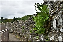 SX1061 : Restormel Castle: Ferns growing from the north east battlement by Michael Garlick