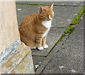 NS5565 : A ginger cat by Thomas Nugent