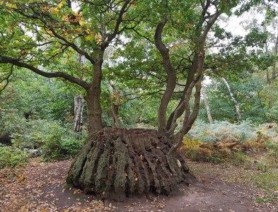 SK6268 : Ancient Oak by Nathan C