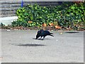 NO7196 : A Carrion Crow (Corvus corone corone) in Tesco's carpark, Banchory by Stanley Howe