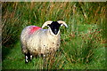 H5690 : Sheep, Upper Barnes by Kenneth  Allen