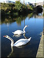 O1237 : Swans on the Royal Canal, west of Broomebridge : Week 42