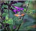 SZ5476 : Hummingbird Hawk-Moth on Salvia by Andy Stephenson