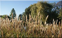 TQ2882 : View of reeds next to the path in the Inner Circle of Regent's Park by Robert Lamb