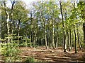 SP9207 : Beech Trees in Drayton Wood by Rob Farrow