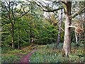 SO8383 : Woodland track to Kingsford Lane near Kinver by Roger  Kidd