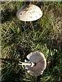 SO7646 : Parasol toadstool by Philip Halling