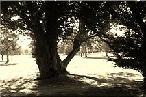 TG2202 : Ancient yew tree by Evelyn Simak